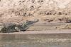 Nile Crocodile.  After a while.
