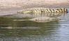 Nile Crocodiles Western Serengeti