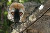 Is this cute or what? Brown Lemur