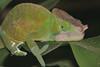 parsoniichameleon 02