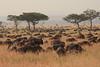 Wildebeest Migration Western Serengeti Tanzania.