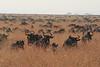 Wildebeest Western Serengeti