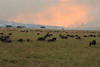 Wildebeast Western Serengeti Migration Tanzania.  Grass burning.
