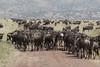 Wildebeest Western Serengeti Migration