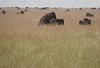 Making MORE Wildebeest Western Serengeti Migration