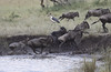 Wildebeest Western Serengeti Migration Tanzania with Mirabu Stork