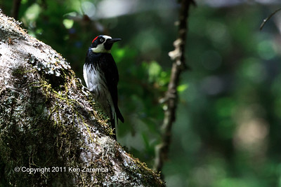 Acorn Woodpecker, female