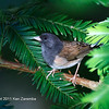 Dark-eyed (Oregon) Junco, male