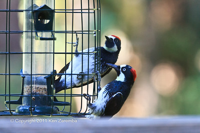 Acorn Woodpecker, juvinile male and mom