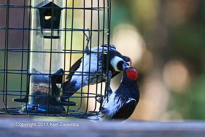 Acorn Woodpecker, juvinile male being fed by mom