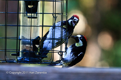 Acorn Woodpecker, mom feeding son