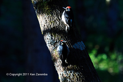 Acorn Woodpecker, adult male and juvenile male