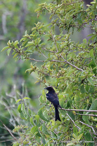 Fork-tailed Drongo, Ruaha Nat. Pk. Tanzania, 1/10/09