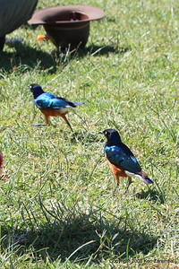 Superb Starlings, Ngorongoro Crater Tanzania, 1/02/09