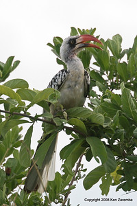 Ruaha Red-billed Hornbill, Ruaha Nat. Pk. Tanzania, 1/10/09