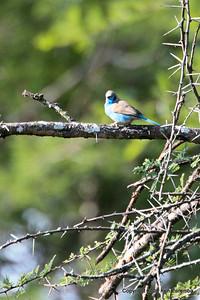 Red-cheeked Cordon-bleu, Ruaha Nat. Pk. Tanzania, 1/11/09