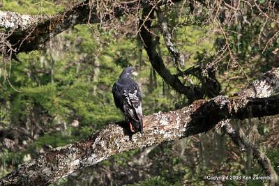 Augur Buzzard, Ngorongoro Crater Tanzania, 1/02/09