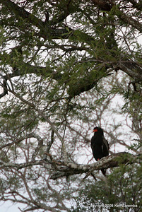 Bateleur, Serengeti Nat. Pk. Tanzania, 1/05/09