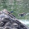 Striated (Green-backed) Heron, Ruaha Nat. Pk. Tanzania, 1/11/09