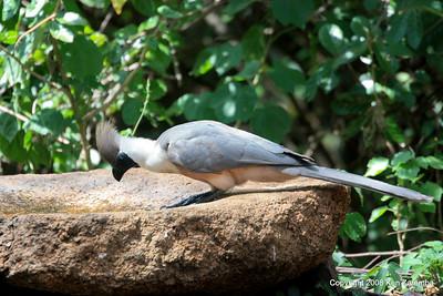 Bare-faced Go-away-bird, Serengeti Nat. Pk. Tanzania, 1/05/09