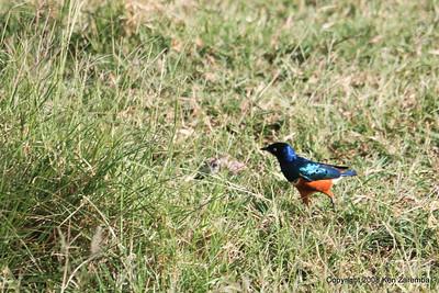 Superb Starling, Lake Manyara Nat. Pk. Tanzania 12/31/08