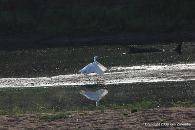 Intermediate Egret, Ruaha Nat. Pk. Tanzania, 1/11/09