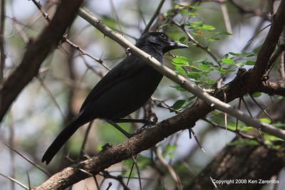 Slate-colored Boubou, Serengeti Nat. Pk. Tanzania, 1/05/09