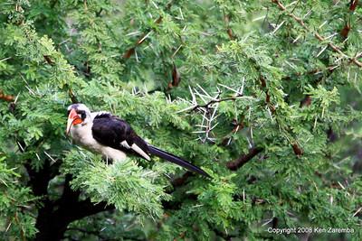 Von Der Decken's Hornbill, Serengeti nat. Pk. Tanzania, 1/06/09