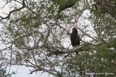 Bateleur Hawk-Eagle, Serengeti Nat. Pk. Tanzania, 1/05/09