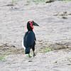 Southern Ground Hornbill, Ruaha Nat. Pk. Tanzania, 1/11/09