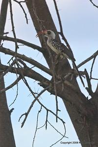 Ruaha Red-billed Hornbill,Ruaha Nat. Pk. Tanzania, 1/10/09