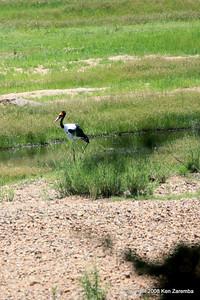 Saddled-billed Stork, Ruaha Nat. Pk. Tanzania, 1/10/09