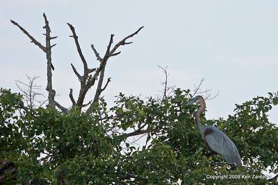 Goliath Heron, Serengeti Nat. Pk. Tanzania, 1/05/09