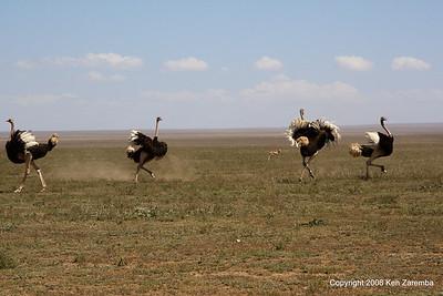 Displaying Male Common Ostrich, Serengeti Nat. Pk. Tanzania, 1/03/09