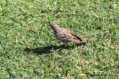 Rufous-tailed Weaver, Ngorongoro Crater Tanzania, 1/02/09