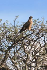 Tawny Eagle, Serengeti Nat. Pk. Tanzania, 1/05/09
