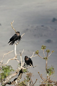 White-naped Raven, Ngorongoro Crater Tanzania, 1/02/09