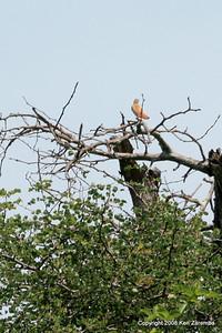 White-browned Scrub-Robin, Ruaha Nat. Pk. Tanzania, 1/10/09