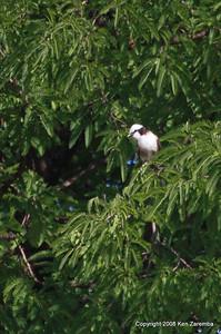 Northern White-crowned Shrike, Serengeti Nat. Pk. Tanzania, 1/05/09