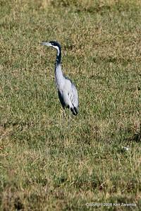 Black-headed Heron, Ngorongoro Crater Tanzania, 1/02/09