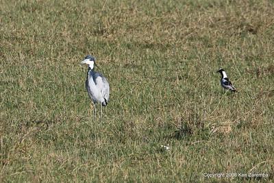 Black-headed Heron & Blacksmith Lapwing, Ngorongoro Crater Tanzania, 1/02/09