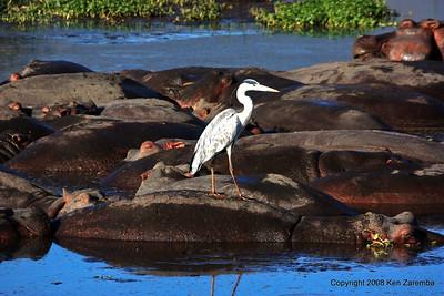 Grey Heron & lots of Hippopotamus, Ngorongoro Crater Tanzanis, 1/02/09
