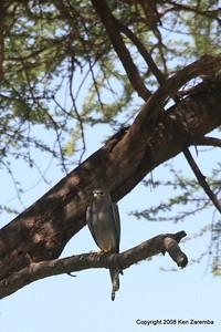 Grey Kestrel, Ruaha Nat. Pk. Tanzania, 1/10/09