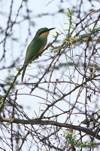 Immature Little bee-eater, Ruaha Nat. Pk. Tanzania, 1/10/09