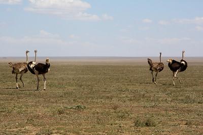 Two Pair of Common Ostrich, Serengeti Nat. Pk. Tanzania, 1/03/09