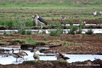 Marabou Stork, Lake Manyara Nat. Pk. Tanzania 12/31/08