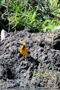 Speke's Weaver, Ngorongoro Crater Tanzania, 1/02/09