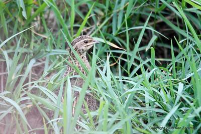 Common Quail, Ruaha Nat. Pk. Tanzania, 1/10/09