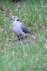 Ring-necked Dove, Serengeti Nat. Pk. Tanzania, 1/05/09