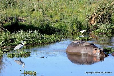 Grey Heron, Black-crowned Night-Heron & a Hippopotamus, Ngorongoro Crater Tanzania, 1/02/09